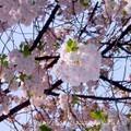 060409shinmachi_sakura01_1